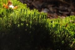 Schönes Frauenhaarmoos, Schönes Widertonmoos (Polytrichastrum formosum); Bergenhusen, Stapelholm (33) (Chironius) Tags: stapelholm bergenhusen schleswigholstein deutschland germany allemagne alemania germania германия szlezwigholsztyn niemcy moos laubmoos grün wald forest forêt лес bosque skov las explore