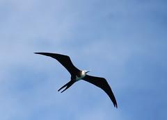 Canon2017.03.17 2500 (seahorse19911) Tags: birds brittanyanddadsvisit canon20170317 drytortugas florida floridakeys magnificentfrigatebird
