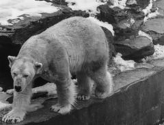 Tierpark Berlin (trekkpics) Tags: tierpark berlin deutschland germany eis bär winter snow wolodja sony alpha samyang