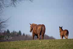 WB-OS171881 (OliverSeitz) Tags: fohlen pferde hauptundlandgestütmarbach oliver seitz