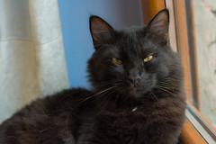 Conan (Zuncra*) Tags: conan mew cat gatito gato gatonegro blackcat felino animal nikond5200 nikon d5200 polarozadorhoya hoya circularpl hoyapro1digitalfiltrer pro1hoya