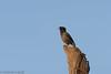 -Martin forestier - Acridotheres fuscus-Jungle Myna- 2937_DxO.jpg