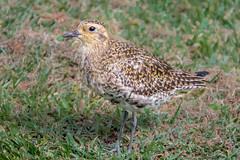 Kolea (helenehoffman) Tags: alaska pluvialisfulva aves bird plover pacificgoldenplover lanai hawaii migratory animal