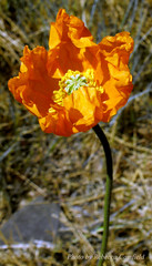 Summer's warmth (Becky J.C.) Tags: orange flower poppy papaver nudicaule