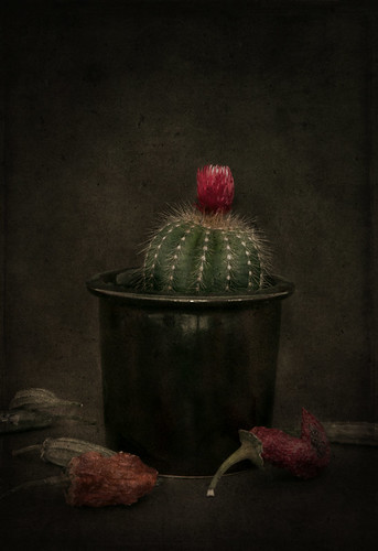 Still Life With Dried Habenero and Cactus