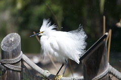 Snowy Egret (allicas4) Tags: white bird nature wildlife birding birders snowyegret