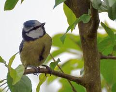 2013 05 19 38 Garden (Mark Baker.) Tags: uk blue england bird nature birds project photo spring day tit baker mark wildlife may photograph photoaday british 365 berkshire newbury 2013 picsmark