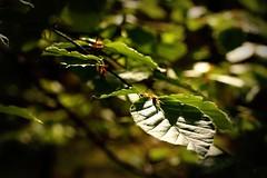 #148 of 365 (Innes Watson) Tags: wood green leaf branch beechleaf