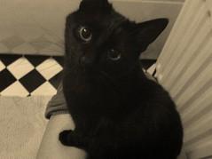 those eyes! (bubbl3yb3cky) Tags: black beautiful loving cat legs toliet peeing legging ocelotfilter
