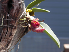 bulbophyllum frostii (grizzlyjack2000) Tags: red plant orchid flower yellow indonesia shoe miniature wooden branch houseplant vietnam exotic mounted bloom bulbophyllum frostii stickmount