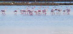 Trenino!Passeggiando... (Massimo Tiga Pellicciardi) Tags: water rose del canon rosa flamingos delta 7d di po efs ef comacchio valli fenicotteri fenicottero 100400