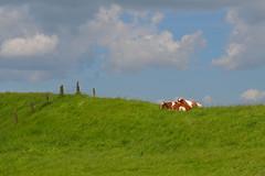 Dutch Landscape (Roberto Braam) Tags: summer sky dutch animal clouds landscape cow weide nikon cows wolken zomer netherlan