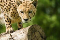 Wildlife Heritage Foundation - May 2013 (patrick-walker) Tags: cat canon eos kent patrick walker bigcat 7d cheetah canon100400 100400 wildlifeheritagefoundation whf anawesomeshot canon7d flickrbigcats