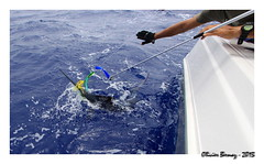 Billfish Tournament St Martin 2013 (ozantilles) Tags: white tournament sxm marlin billfish