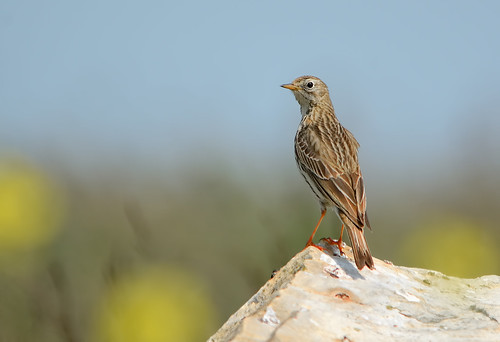 Meadow Pipit Perched