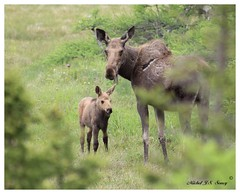 IMG_9068 (Michel Soucy (www.michelsoucy.com)) Tags: wild nature animal animals female mammal outdoors cow novascotia wildlife moose calf mammals cabottrail capebretonisland michelsoucy michelmikesoucy