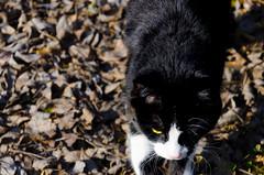 Katze im Laub (ghatiso) Tags: light motion black animal dark 50mm movement nikon europe day laub katze nikkor schwarz tier switerland sugetier d7000 chamobermhlestrasee spontanesfotoshooting