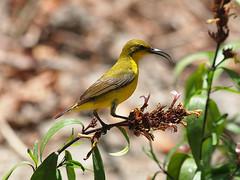 Olive-backed Sunbird (Oleg Chernyshov) Tags: olivebackedsunbird cinnyrisjugularis yellowbelliedsunbird cinnyrisjugularisornatus желтобрюхаянектарница синегрудаянектарница