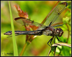 Wings (Suzanham) Tags: nature insect wings dragonfly thegalaxy fantasticnature flickraward absolutelyperrrfect