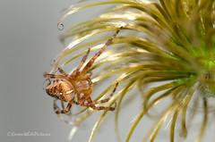 spider 29/52 (sure2talk) Tags: macro spider flash clematis seedhead araneusdiadematus orbweaver 2952 nikond7000 nikkor85mmf35gafsedvrmicro 52weeksfornotdogs