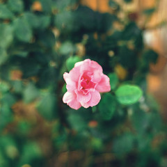 Solitary raindrop over solitary rose. (Carola Photography ) Tags: park pink flowers summer italy parco sun flower color macro cute verde green art love nature colors girl rain rose yellow digital photoshop vintage garden season photography 50mm lights photo n