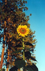 Top-47 - Copy (4) (Jenni Reynolds-Kebler) Tags: sun plant flower nature yellow outdoors seeds sunflowers