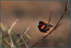 Red-backed Fairy-wren (Malurus melanocephalus) (Mike Schurmann) Tags: morning rockhampton australianbirds fairywren melanocephalus redbacked woolwash malurus nikond800 sigma12030028sports2xsigmateleconverter