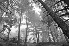 Remember (pat.netwalk) Tags: sanfrancisco trees blackandwhite bw tree nature remember nebel atmosphere dust marineheadlands copyrightbypatwwwnetwalkch