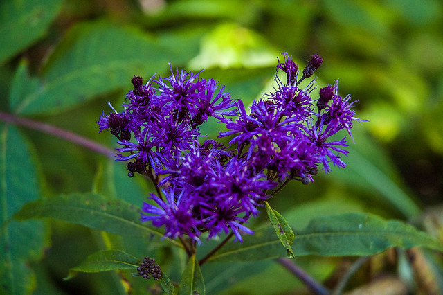 Hoosier National Forest - Nebo Ridge - Ironweed - August 2013