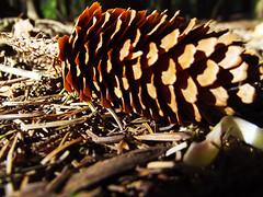 killeagh woods (shaneb1986) Tags: wood ireland macro nature pine woodland cone cork cocork killeagh