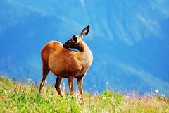 Blacktail Deer (Lue Huang) Tags: color nature animal canon washington olympicnationalpark tamron vc 70300 blacktaildeer