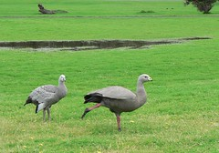Having a Stretch... (The Pocket Rocket) Tags: australia victoria phillipisland cereopsisnovaehollandiae capebarrengeese explore332