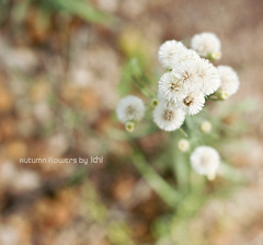 autumn flowers (idni . idniama) Tags: flowers orange brown detail green fall luz nature floral 50mm flora nikon bokeh desenfoque gettyimages autumnflowers otoal 2013 idni gettyimagesiberiaq3