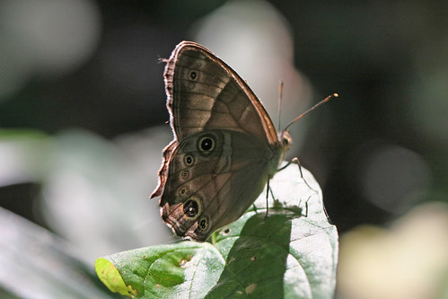 新治市民の森のヒカゲチョウ(Butterfly, Niiharu Community Woods, Yokohama, Japan)