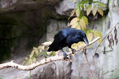 Raaf / Raven (Den Batter) Tags: zoo nikon raven raaf ouwehands dierentuin dierenpark corvuscorax d5000