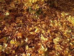 Leaves Autumn_Cavan (DougBittinger) Tags: