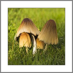 Im Schutz der Familie (In the protection of the family) (alfred.hausberger) Tags: mushrooms familie herbst natur pilze garten updatecollection pilzfamilie