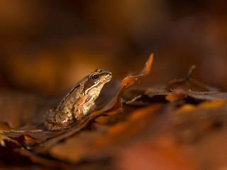 Autumnal Frog.
