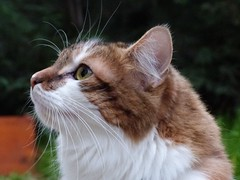 My cat (gilloogo) Tags: red pet cats white france animal cat chats kat chat longhair gato normandie katze normandy gatto poil blanc roux eure familier poils evreux hautenormandie catmoments vision:food=0515 vision:outdoor=0809