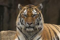 wistful (ucumari photography) Tags: sc garden zoo october south tiger columbia carolina siberian amur riverbanks 6505 2013 specanimal ucumariphotography