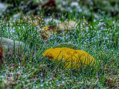When you fell in the foggy dew . . . (Van Luvender) Tags: november autumn grass leaf dew fallen canonef50mmf14usm canon1100d