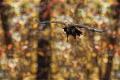 Tawny Eagle in Flight_DSC0984 (DansPhotoArt) Tags: life bird nature fauna nikon eagle earth wildlife aves raptor passaros wbs tawnyeagle aquilarapax worldbirdsanctuary d7100