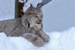 Rescued Lynx Kitten - About 1 Year Later (AlaskaFreezeFrame) Tags: lynx kittens cats feline nature wildlife canon alaska alaskafreezeframe cute gato mammal carnivore lynxcanadensis rescued 70200mm anchorage outdoors winter snow beautiful alert paws claws flash