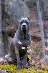 Conrad posing (juboxx) Tags: dog animal cane italian corso mastif