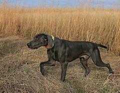 "Gus hunting in South Dakota • <a style=""font-size:0.8em;"" href=""http://www.flickr.com/photos/66999112@N00/11200140273/"" target=""_blank"">View on Flickr</a>"
