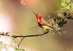 CRIMSON SUNBIRD (TARIQ HAMEED SULEMANI) Tags: travel winter wild tourism nature birds trekking nikon wildlife sensational soe tariq hrad marala supershot sulemani tariqhameedsulemani