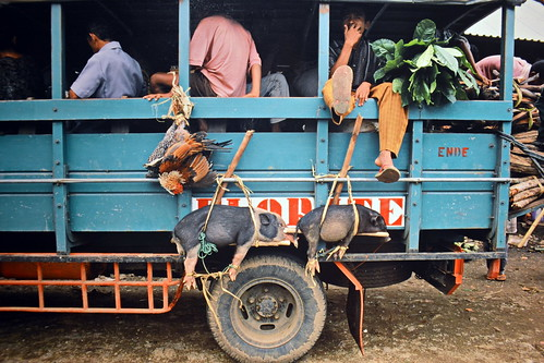 Indonesia - Flores - Pigs And Chicken Hanging Outside A Truck