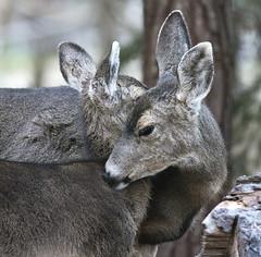 Hugs from Mom (dcnelson1898) Tags: california closeup mammal deer pacificgrove motherandchild whitetaileddeer nurturing