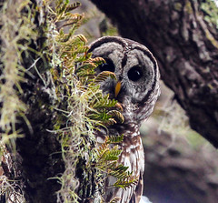 Peek a Boo (minds-eye) Tags: tree nature moss florida owl pontevedra barred barredowl