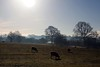 Where Sheep may safely graze (Heaven`s Gate (John)) Tags: blue trees england sky sun nature silhouette landscape sheep january atmosphere frosty fields nationaltrust graze lapworth 10faves johndalkin heavensgatejohn wheresheepmaysafelygraze